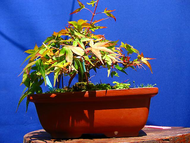Acer Palmatum Beni Stukasa - shohin - Colocação de ganchos nos ramos
