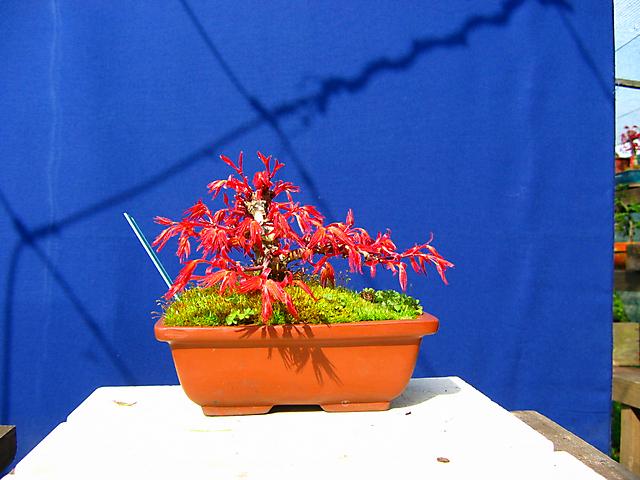 Acer Palmatum Beni Stukasa - shohin - Arranque de primavera tardio deste acer Beni Stukasa