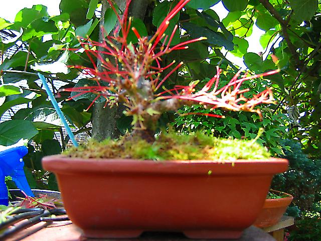 Acer Palmatum Beni Stukasa - shohin - Defoliação total de verão