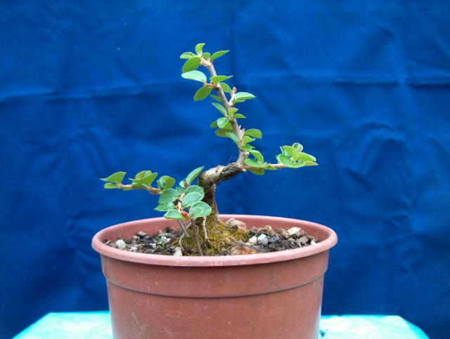 Cotoneaster Bankan em mini-bonsai - Já esta a ganhar forma