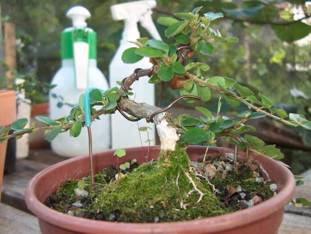 Cotoneaster Bankan em mini-bonsai - Colocação de arames e pequena poda