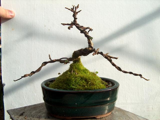Cotoneaster Bankan em mini-bonsai - Foto em pleno Inverno sem folhas