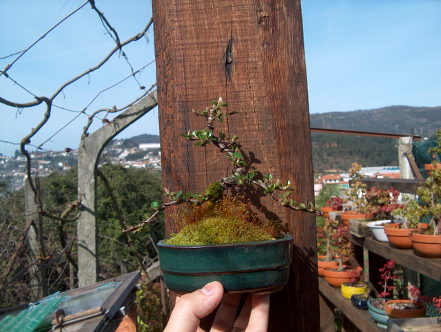 Cotoneaster Bankan em mini-bonsai - Arranque de Primavera tardio