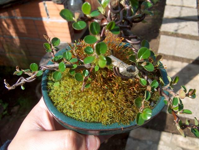 Cotoneaster Bankan em mini-bonsai - Outra foto para ver a disposição dos ramos