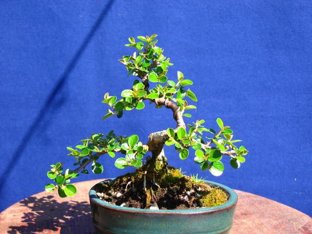 Cotoneaster Bankan em mini-bonsai - Depois de arrancar lentamente, explodiu
