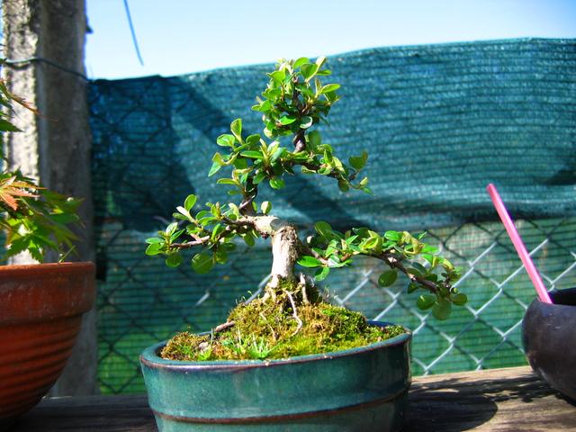 Cotoneaster Bankan em mini-bonsai - Deixar aumentar os tufos de folhas