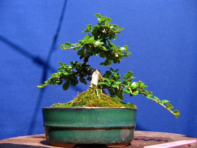 Cotoneaster Bankan em mini-bonsai - Continuação do aumento dos tufos