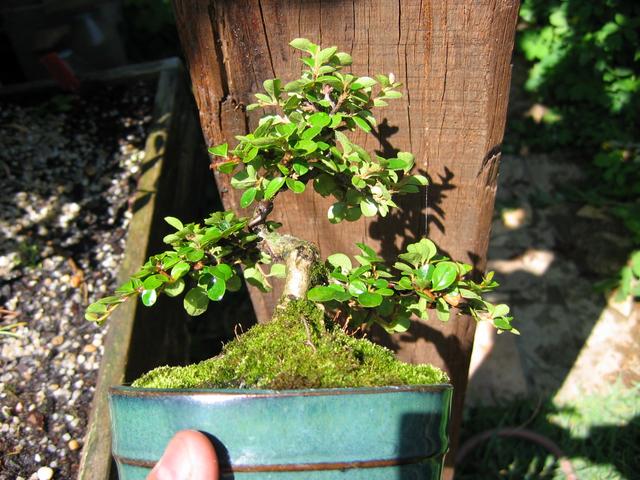 Cotoneaster Bankan em mini-bonsai - Depois de uma poda dos ramos, remoção de arrames