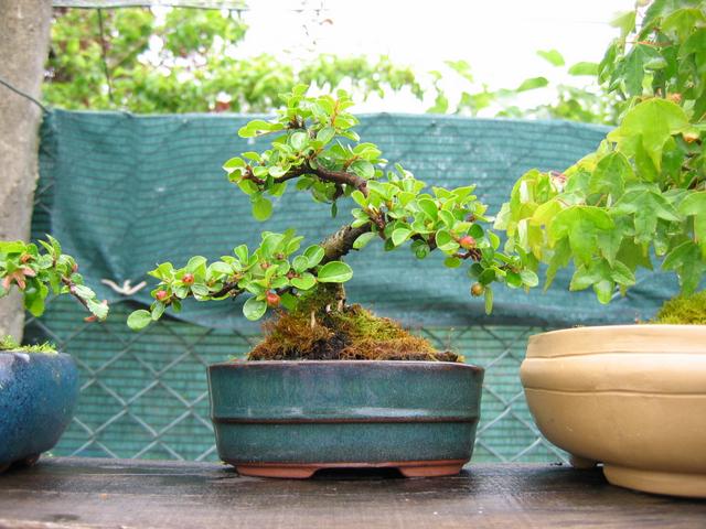 Cotoneaster Bankan em mini-bonsai - Remoção de todos os arames, olha pra fruta