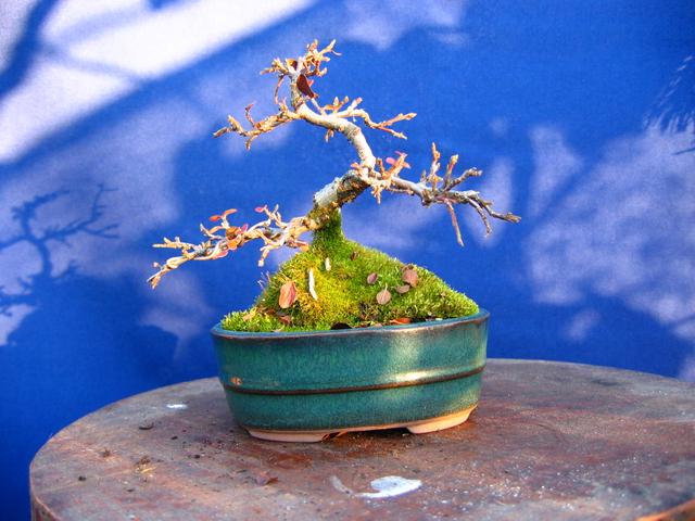 Cotoneaster Bankan em mini-bonsai - Ramificação na epoca de Inverno