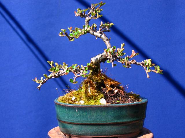 Cotoneaster Bankan em mini-bonsai - Ligeira poda de Inverno