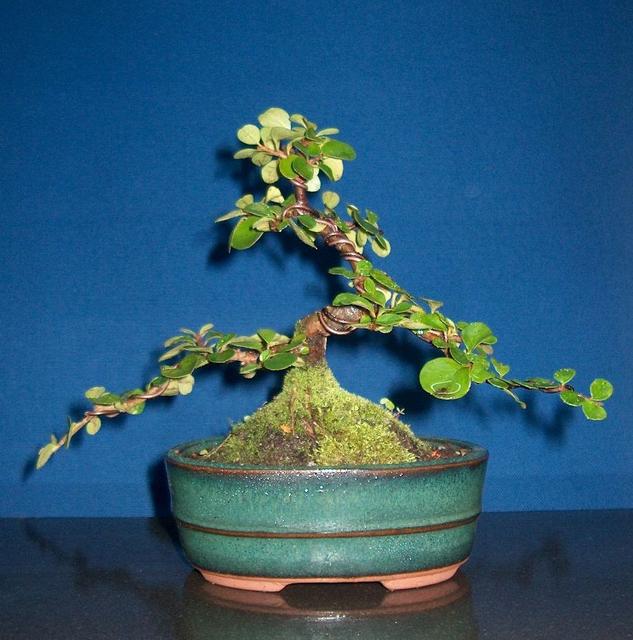 Cotoneaster Bankan em mini-bonsai - Foto da exposição de 2003 do Bonsai Club de Braga