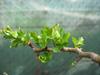 foto folha ou do tronco do Espinheiro - Cuneata, ambigua, laevigata 'Paul's scarlet', monogyna, punctata
