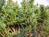 foto folha ou do tronco do Juniperus Chinensis - aurea, kaizuba, japonica, pyramidalis.