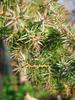 foto fruto ou do tronco do Juniperus Sargentii - San José, media ''gold'' Squamata ''blu star''