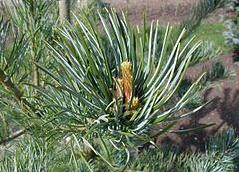 foto folha ou do tronco do Pinheiro Branco Do Japão - Kuro-matsu, Aka-matsu, Goyo-matsu, Nishiki-matsu
