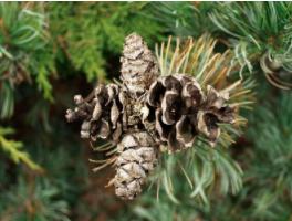 foto fruto ou do tronco do Pinheiro Branco Do Japão - Kuro-matsu, Aka-matsu, Goyo-matsu, Nishiki-matsu