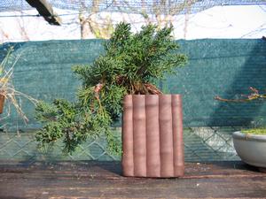 foto geral do Juniperus Chinensis - aurea, kaizuba, japonica, pyramidalis.
