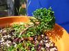 foto fruto ou do tronco do Juniperus Chinensis - aurea, kaizuba, japonica, pyramidalis.