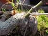 foto folha ou do tronco do Acer Palmatum - Deshojo, dissectum, dissectum garret,beni tsukasa, kiyohime.