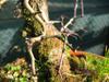 foto fruto ou do tronco do Espinheiro - Cuneata, ambigua, laevigata 'Paul's scarlet', monogyna, punctata