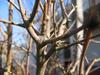 foto fruto ou do tronco do Romãzeira - granatum nana