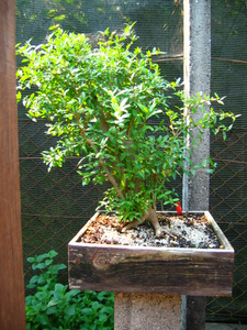 foto geral do Romãzeira - granatum nana