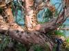 foto tronco ou da folha do Juniperus Chinensis - aurea, kaizuba, japonica, pyramidalis.