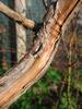 foto tronco ou da folha do Juniperus Sargentii - San José, media ''gold'' Squamata ''blu star''
