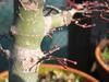 foto tronco ou da folha do Acer Palmatum - Deshojo, dissectum, dissectum garret,beni tsukasa, kiyohime.