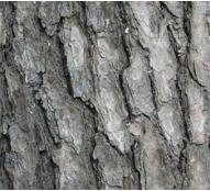 foto tronco ou da folha do Pinheiro Branco Do Japão - Kuro-matsu, Aka-matsu, Goyo-matsu, Nishiki-matsu