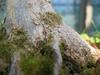 foto tronco ou da folha do Acer Trident - Kyu den, Mino yatsubusa, Tancho, Wako nishiki