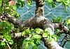 foto tronco ou da folha do Ulmus Chinês - Ulmus parvifolia