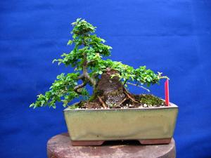foto geral do Ulmus Chinês - Ulmus parvifolia