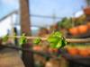 foto fruto ou do tronco do Ulmus Chinês - Ulmus parvifolia