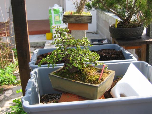 Ulmus parvifolia agarado a pedra para a muda de vaso