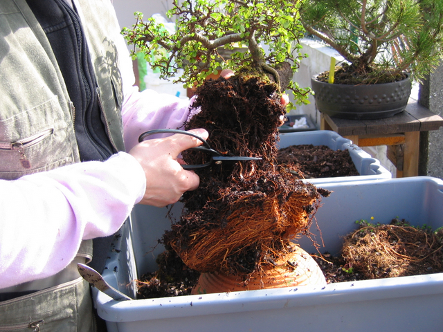 corte das raízes do ulmus parvifolia