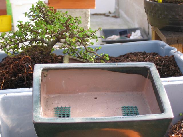 preparação do vaso para o ulmus parvifolia - rede para os furos de drenagem