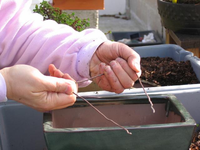 preparação do vaso para o ulmus parvifolia - colocação de arames para fixar o bonsai ao vaso
