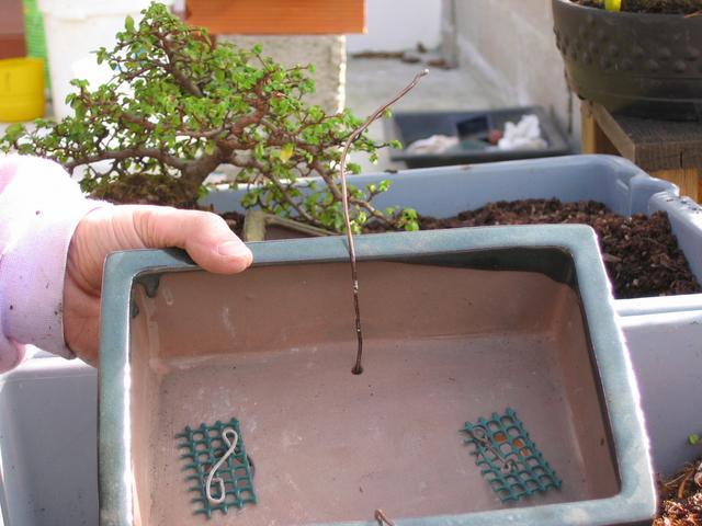 preparação do vaso para o ulmus parvifolia - rede de drenagem e arame de fixação do bonsai ao vaso concluido