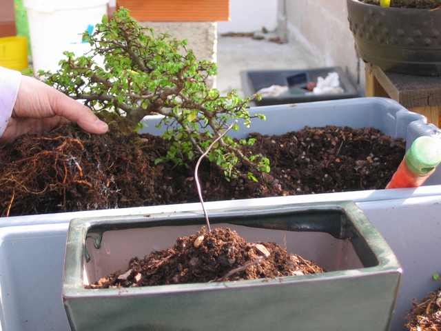 preparação do vaso para o ulmus parvifolia - colocação do composto