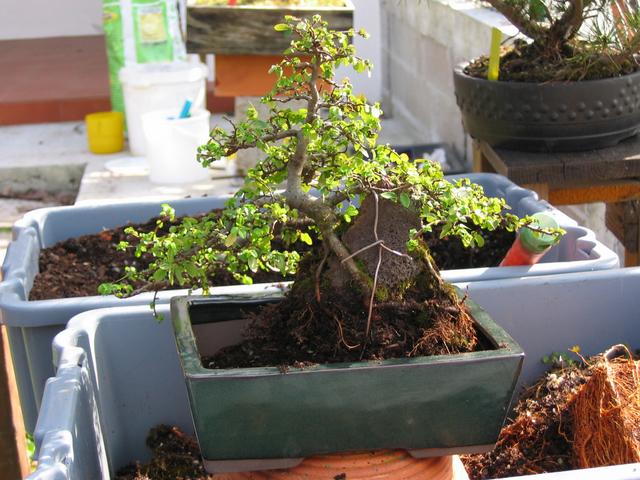 colocação do bonsai no vaso vista de tras