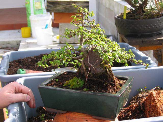 fim do processo da muda de vaso de bonsai de ulmus parvifolia