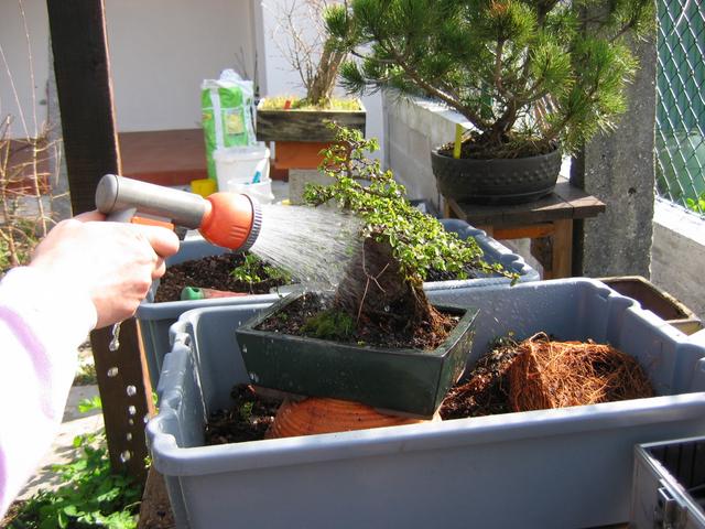 fim do processo da muda de vaso de bonsai de romazeira