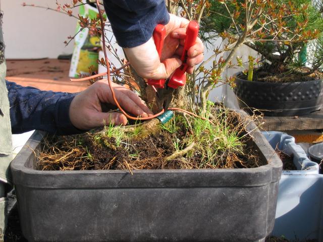 fixação do bonsai com os arames de fixação ao vaso