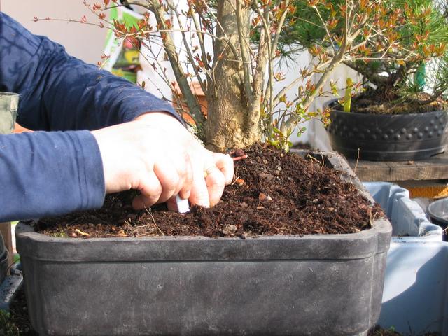 infiltração do composto nas raizes do bonsai de romazeira