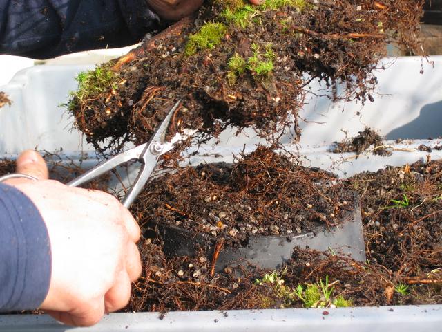 corte de raizes em gomos num acer palmatum adulto