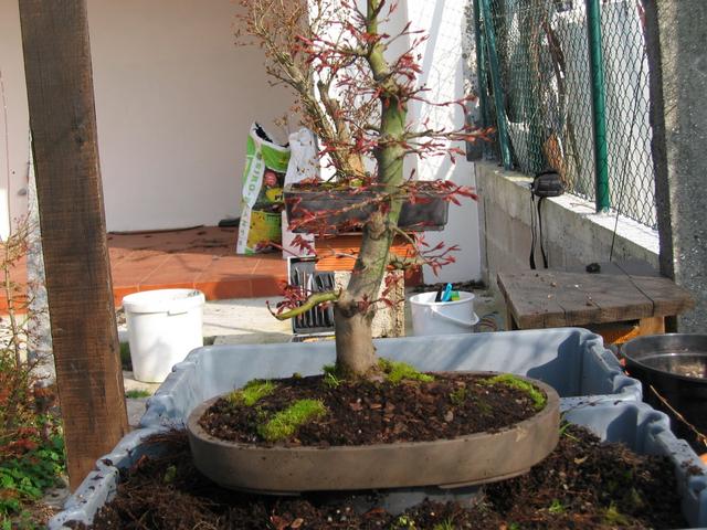 Fim do processo de muda de vaso em bonsai Acer Palmatum